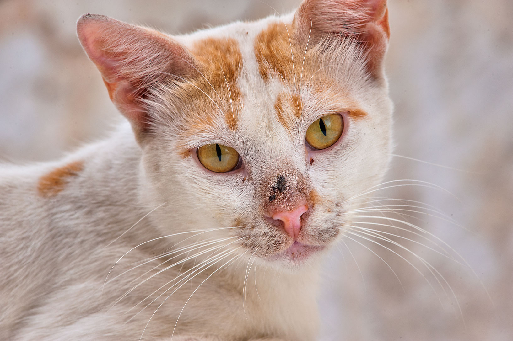Portrait of white and brown cat on Umm Wishad St. in Musheirib area. Doha, Qatar