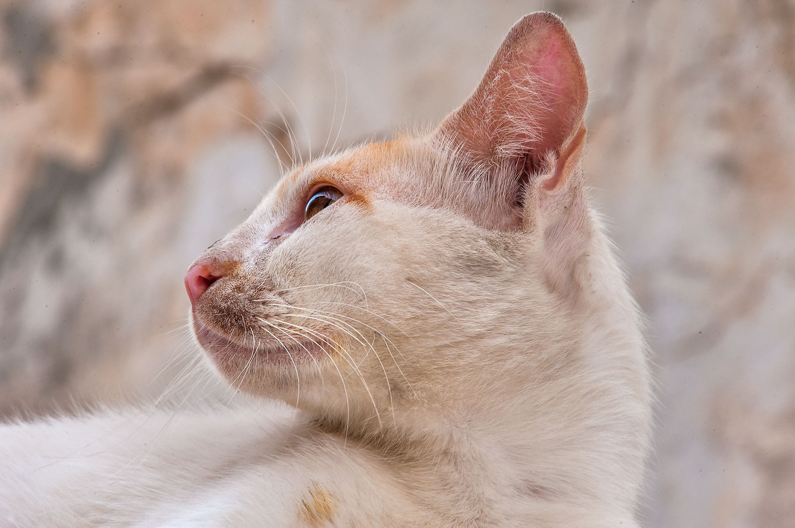 Side view of white and brown cat on Umm Wishad St. in Musheirib area. Doha, Qatar