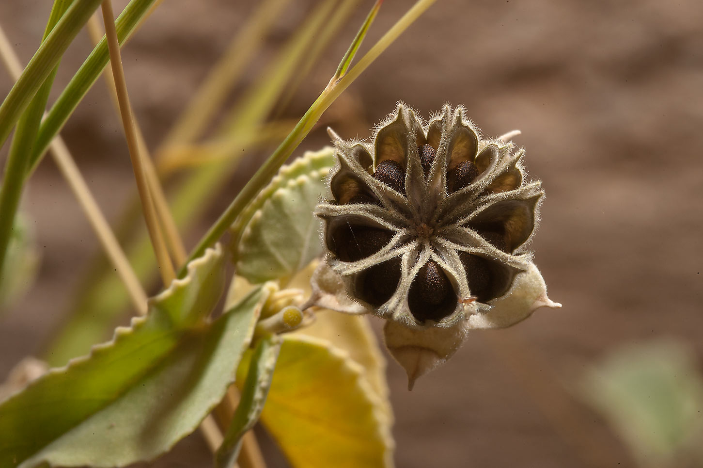 Seeds of Texas Indian-mallow (Abutilon fruticosum...of Al Magdah farms in northern Qatar