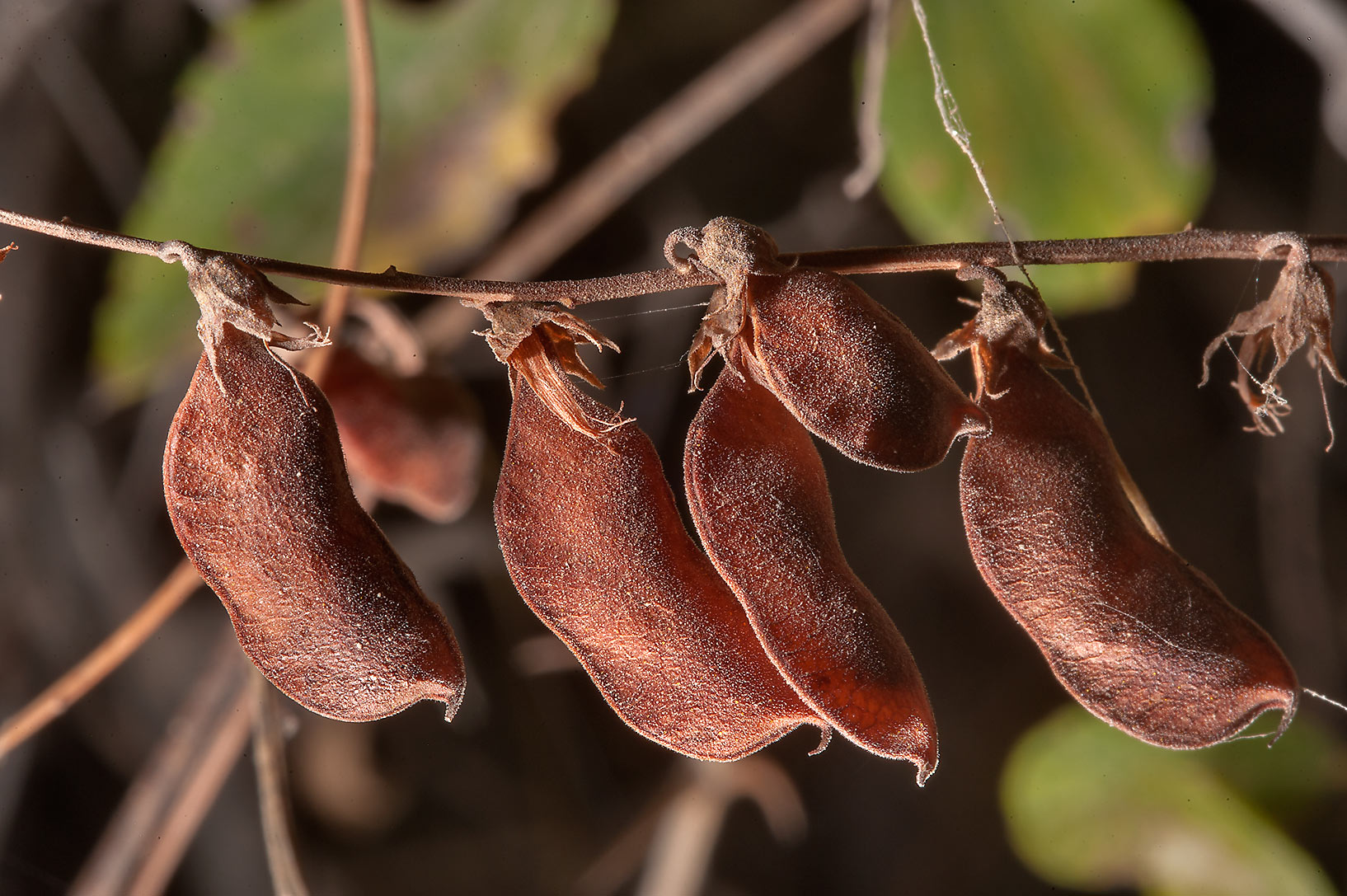 Dry seed pods of Least Snout-Bean (Rhynchosia...of Al Magdah farms in northern Qatar