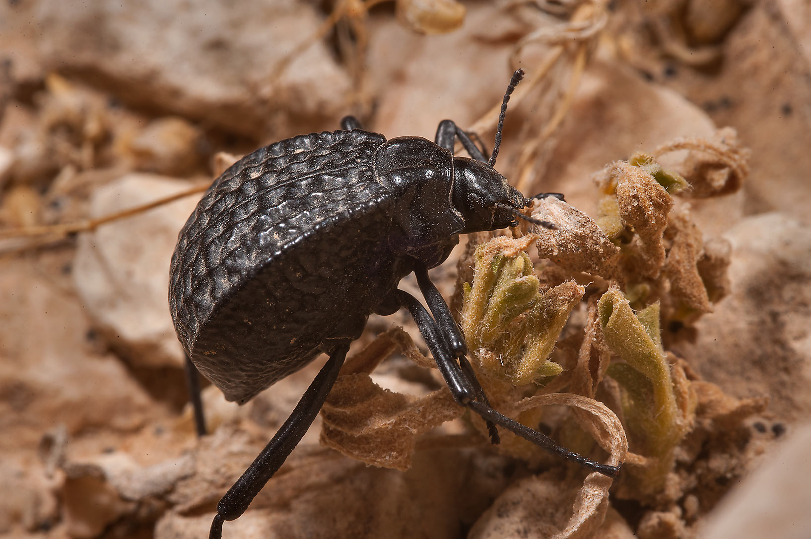 Pitted darkling beetle (Adesmia cancellata...of Al Magdah farms in northern Qatar