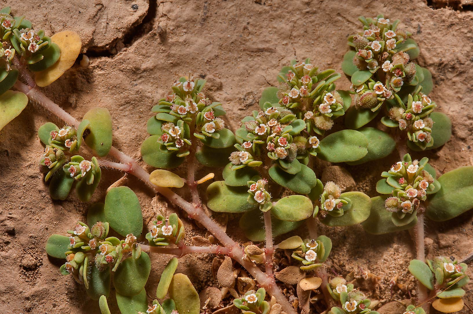 Euphorbia granulata (Euphorbia forsskaolii...of Al Magdah farms in northern Qatar