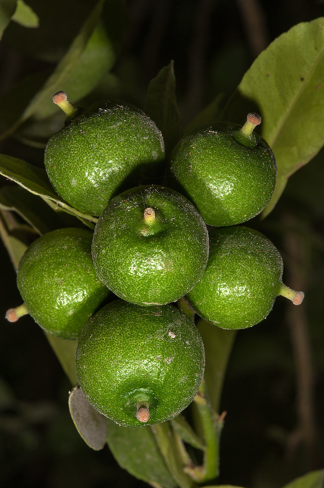 Green limes on a citrus tree (Citrus...Istiqlal St. in West Bay. Doha, Qatar