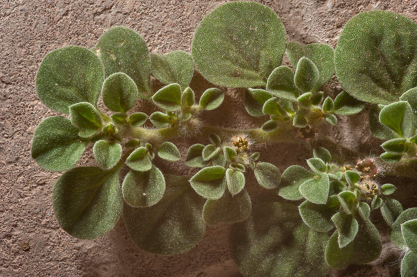 Purslane-leaved aizoon (Aizoon canariense) on Al...St. near West Bay. Doha, Qatar