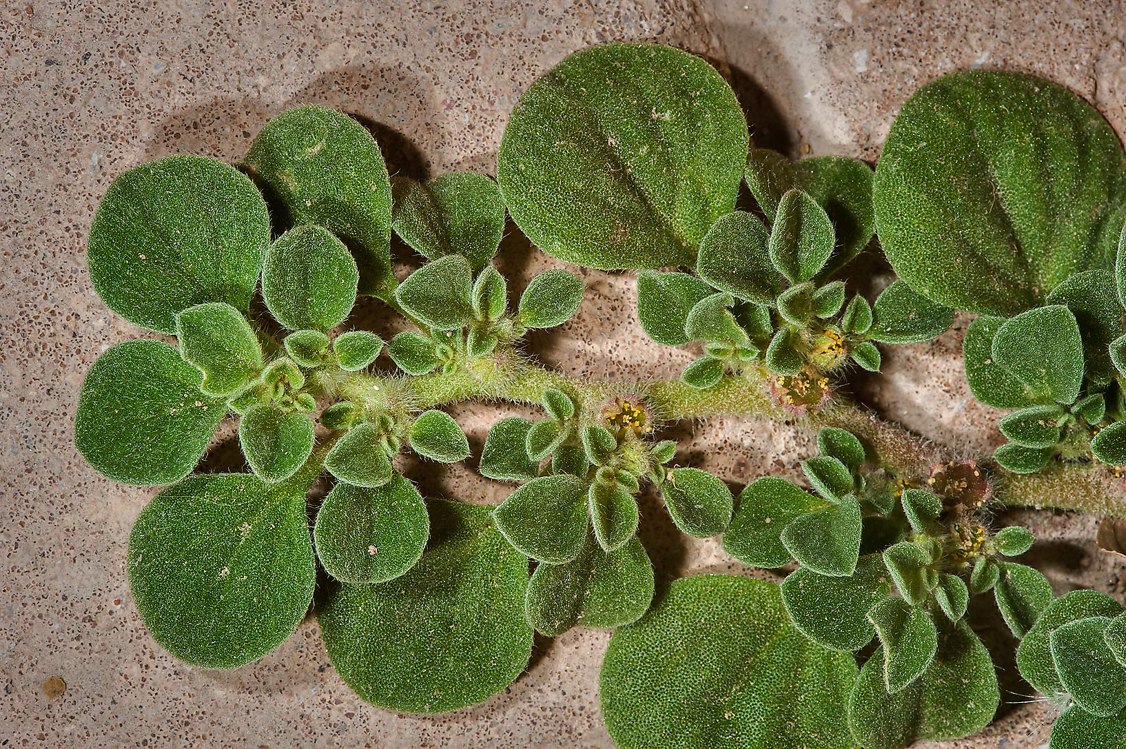 Purslane-leaved aizoon (Aizoon canariense) on...St. near West Bay. Doha, Qatar