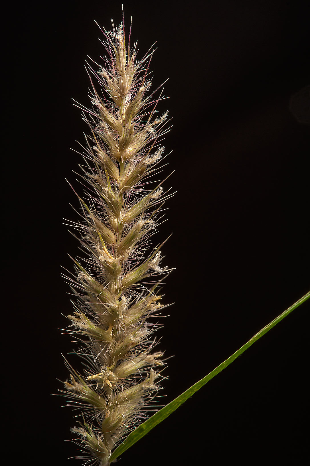 Spikelet of Buffelgrass (African foxtail grass...St. near West Bay. Doha, Qatar