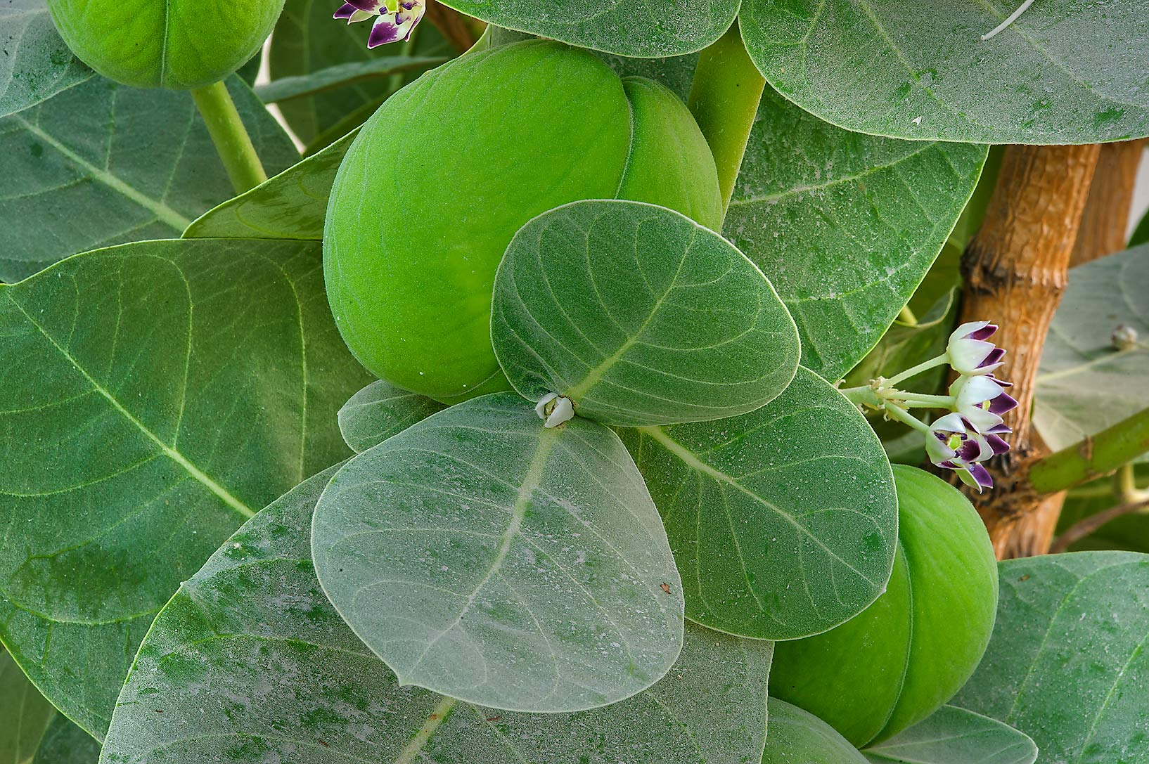Fruits of Sodom Apple (Calotropis procera, local...Istiqlal St. in West Bay. Doha, Qatar