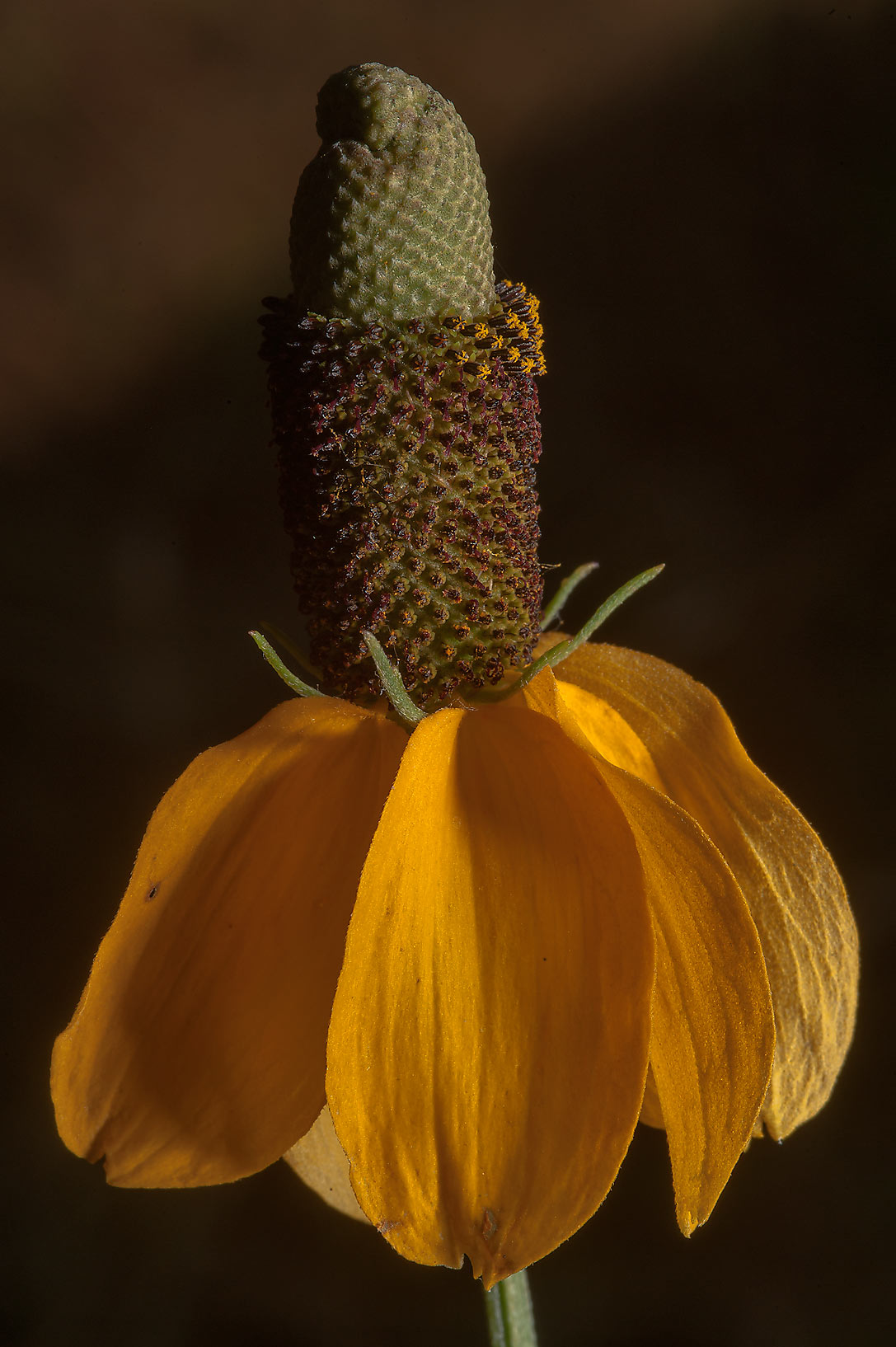 Mexican hat flower - search in pictures