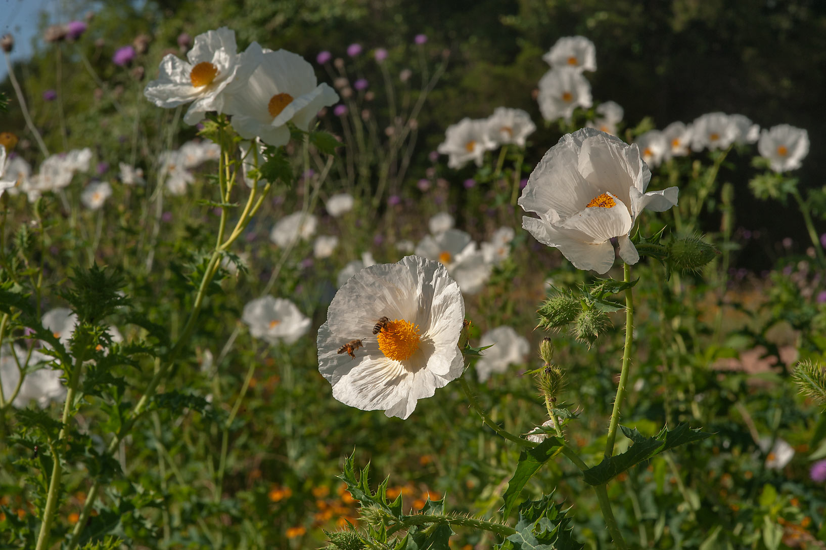 Prickly poppy in Washington-on-the-Brazos State Historic Site. Washington, Texas