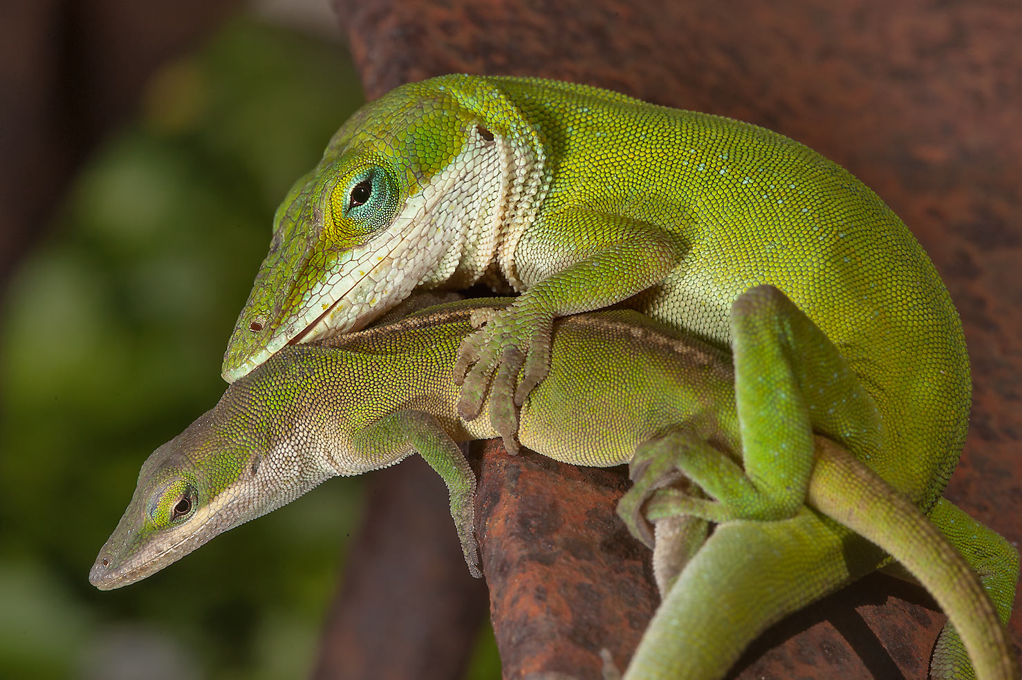 Two green anole lizards in Antique Rose Emporium. Independence, Texas