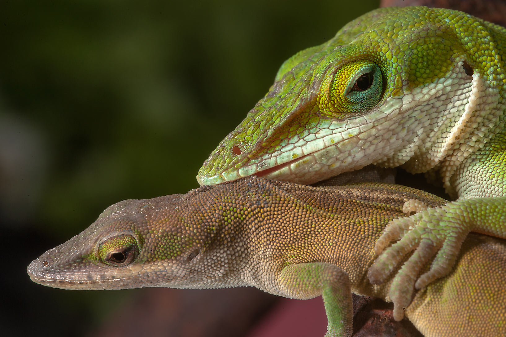 Pair of green anole lizards in Antique Rose Emporium. Independence, Texas