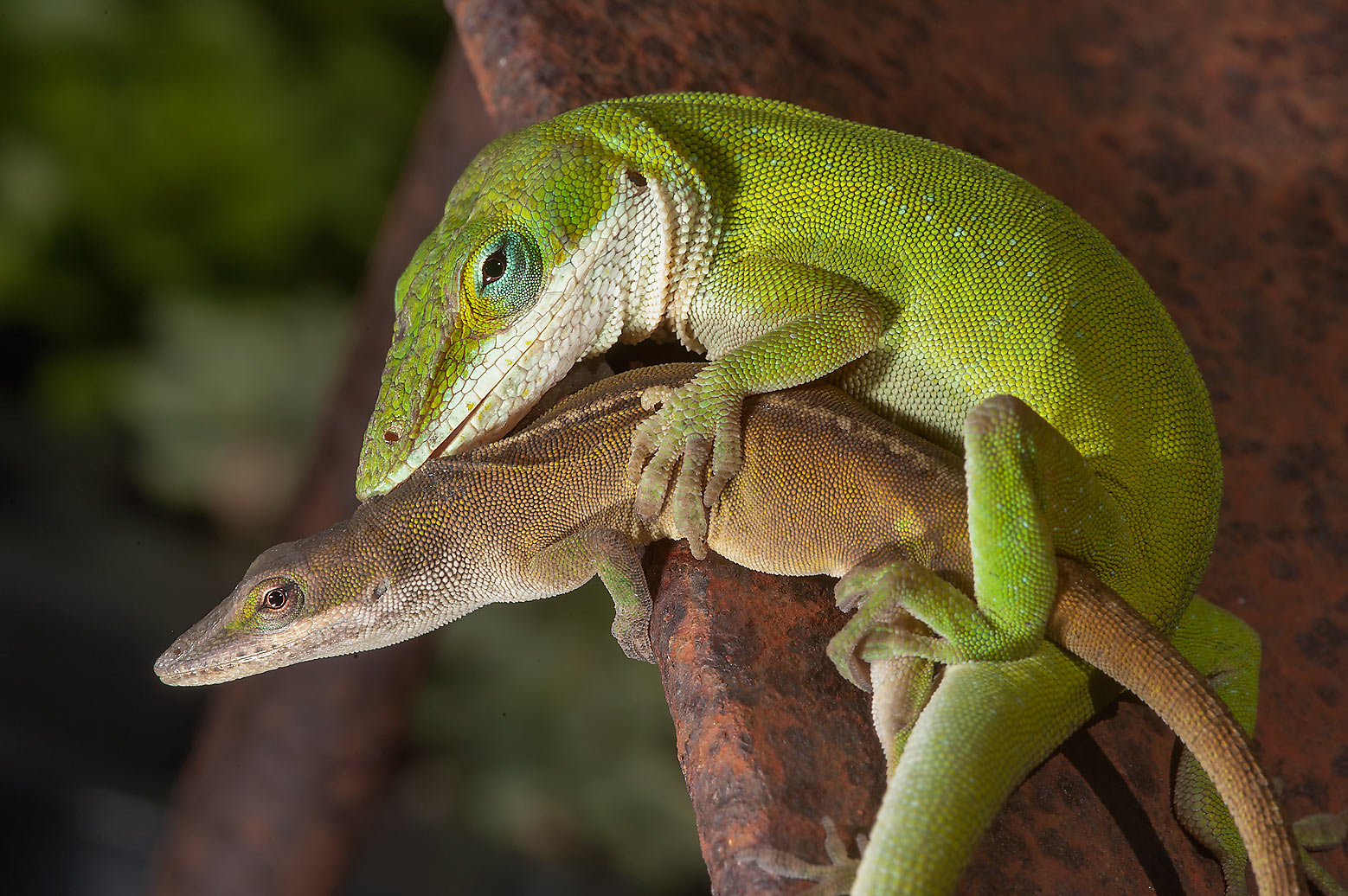 Mating green anole lizards in Antique Rose Emporium. Independence, Texas