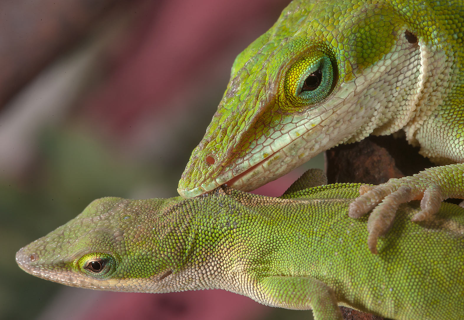 Couple of green anole lizards in Antique Rose Emporium. Independence, Texas