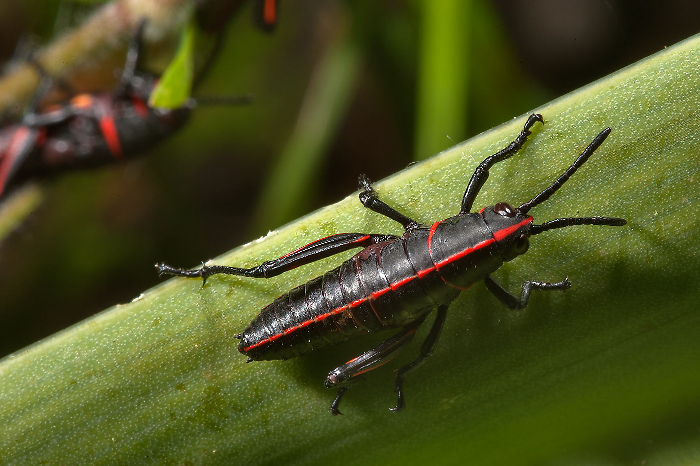 Black and red grasshoppers in Sam Houston...Lake Creek Loop Trail. Richards, Texas