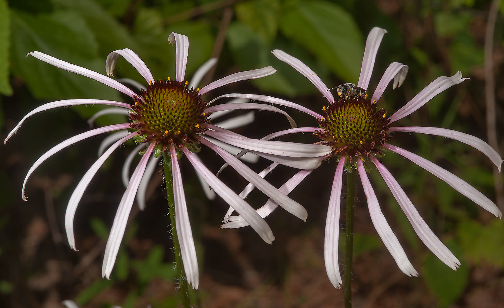 Coneflowers (Echinacea sanguinea) in Sam Houston...Lake Creek Loop Trail. Richards, Texas