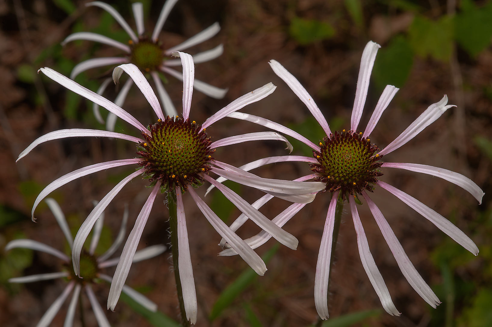 Blooming coneflowers (Echinacea sanguinea) in Sam...Lake Creek Loop Trail. Richards, Texas
