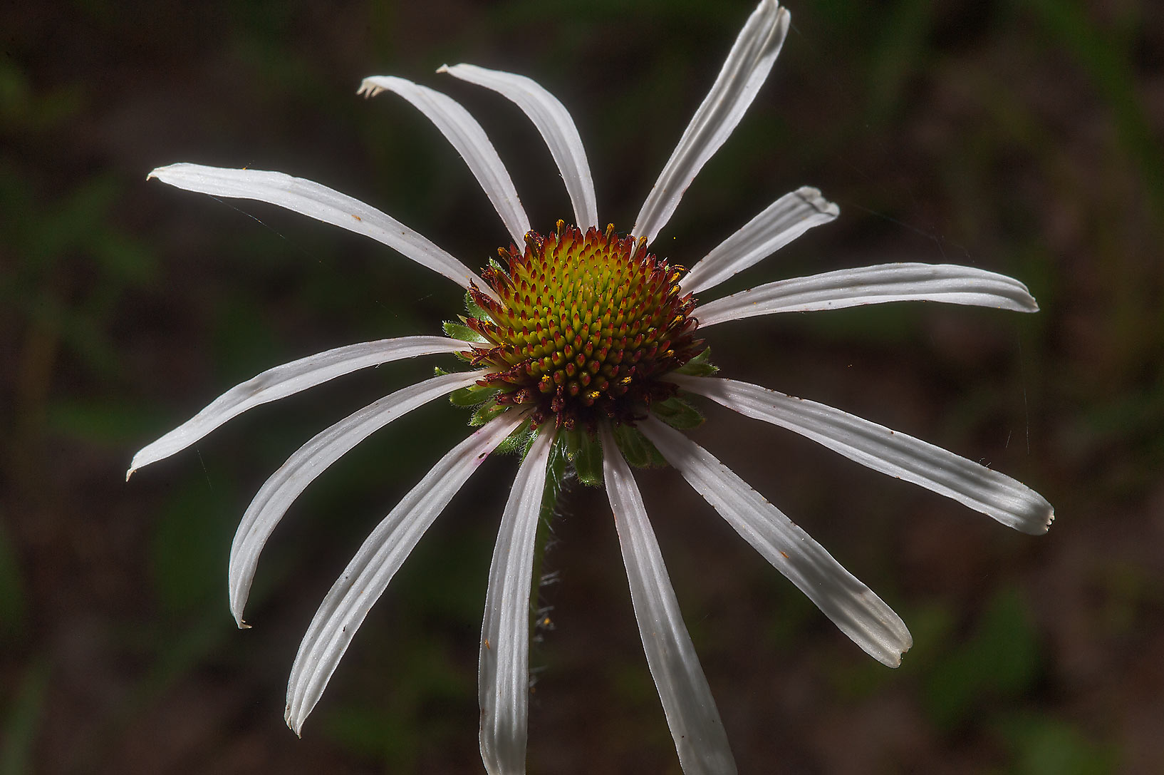 Handeless coneflower (Echinacea sanguinea) in Sam...Lake Creek Loop Trail. Richards, Texas