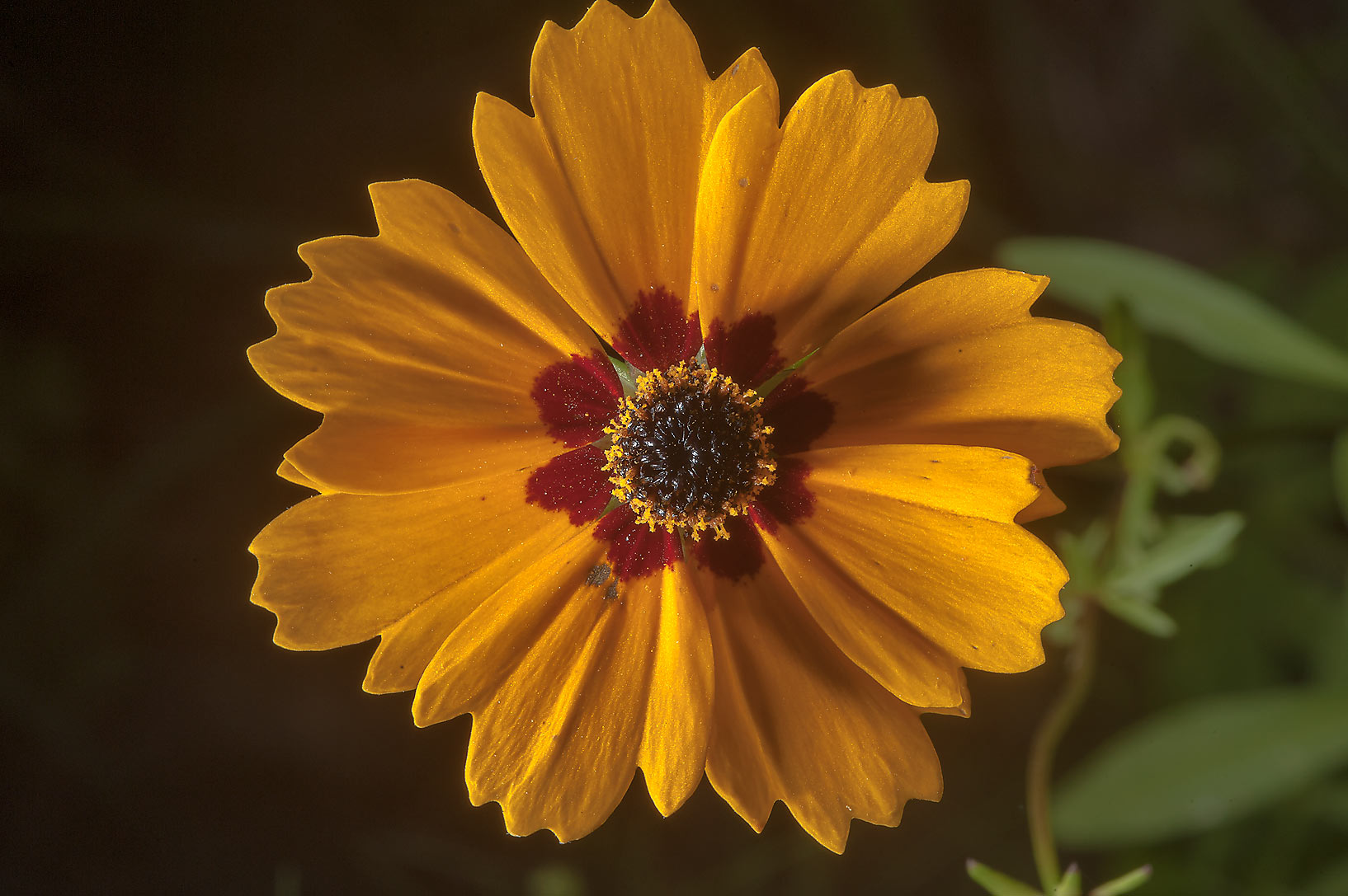 Coreopsis flower on Post Oak Trail in Lick Creek Park. College Station, Texas