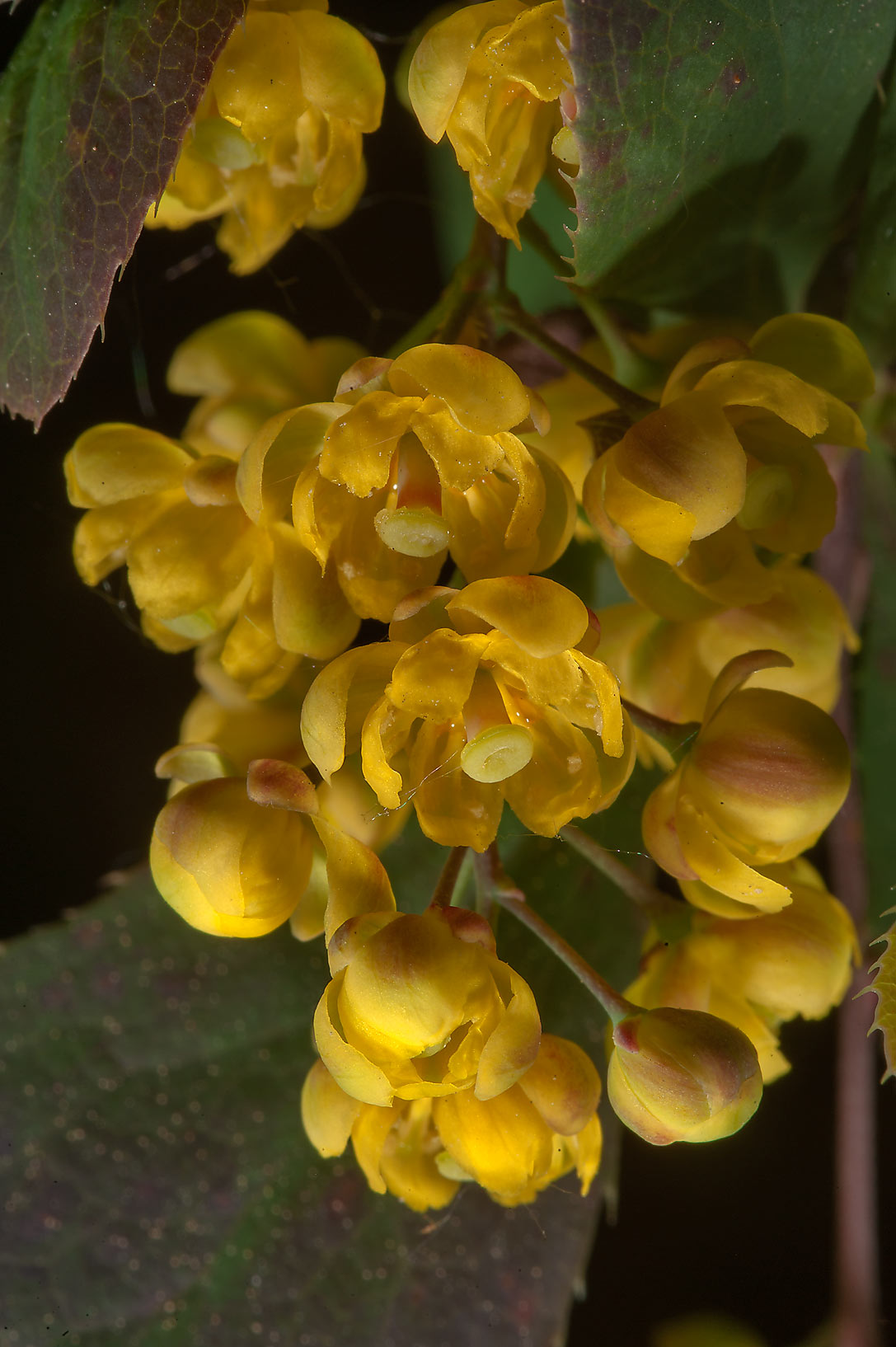 Yellow flowers of berberry. Pushkin (former Tsarsoe Selo) near St.Petersburg, Russia