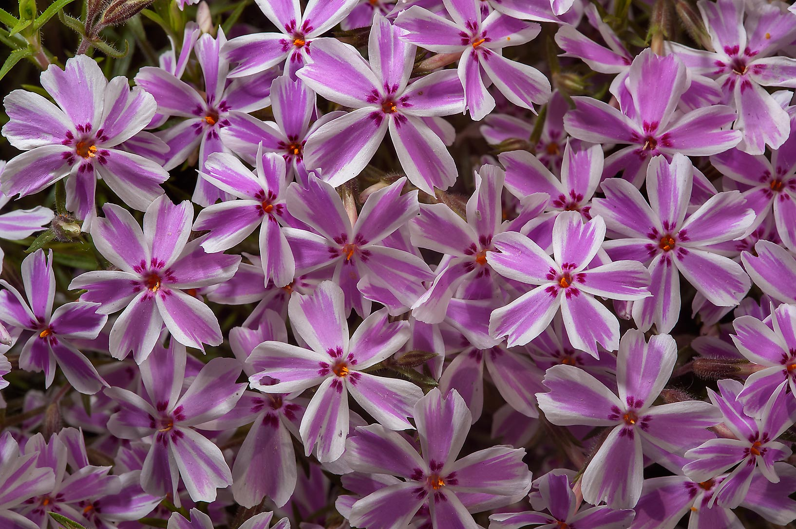 Pink phlox in Botanic Gardens of Komarov Botanical Institute. St.Petersburg, Russia