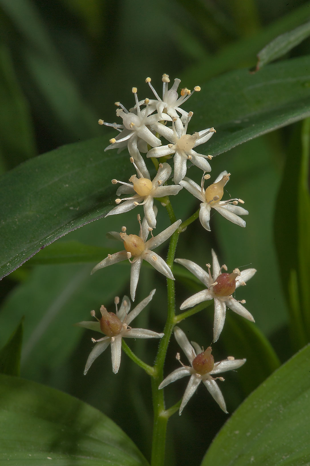 Starry False Solomon's Seal (Smilacina stellata...Institute. St.Petersburg, Russia