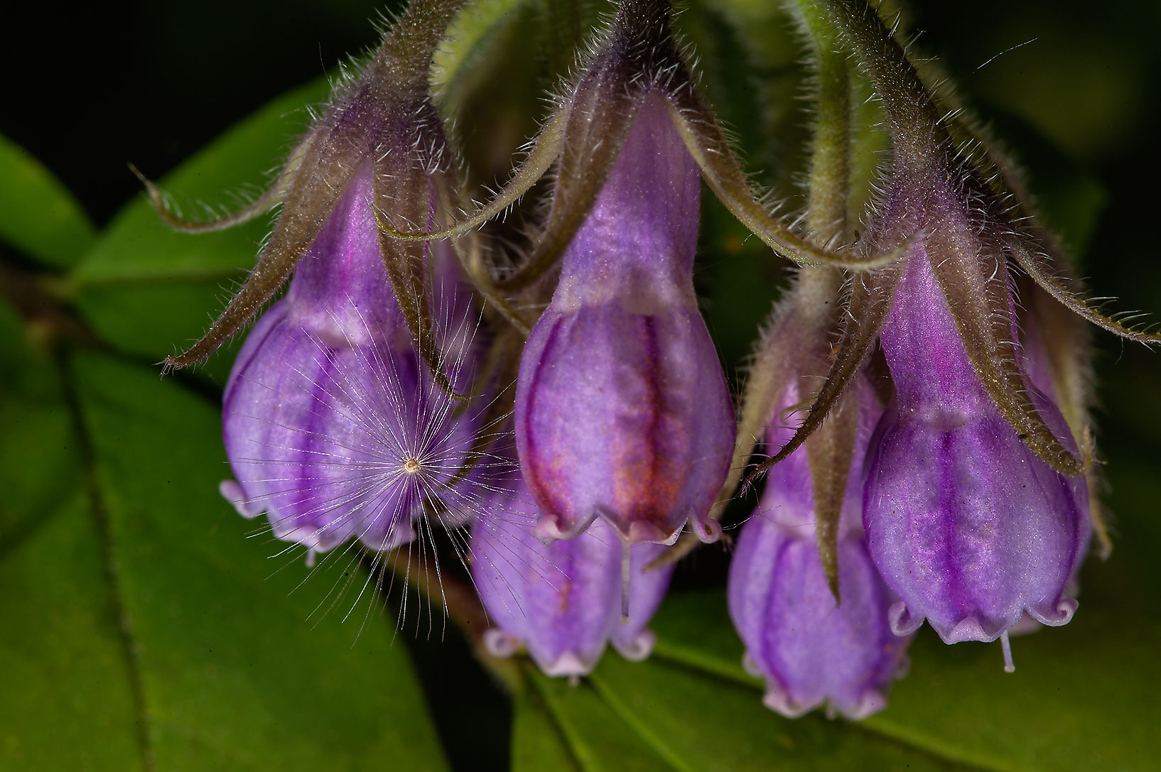 Purple flowers of beinwell (blue comfrey...Institute. St.Petersburg, Russia