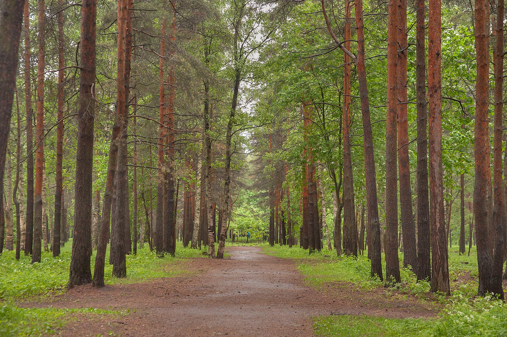 Pine alley of Sosnovka Park. St.Petersburg, Russia