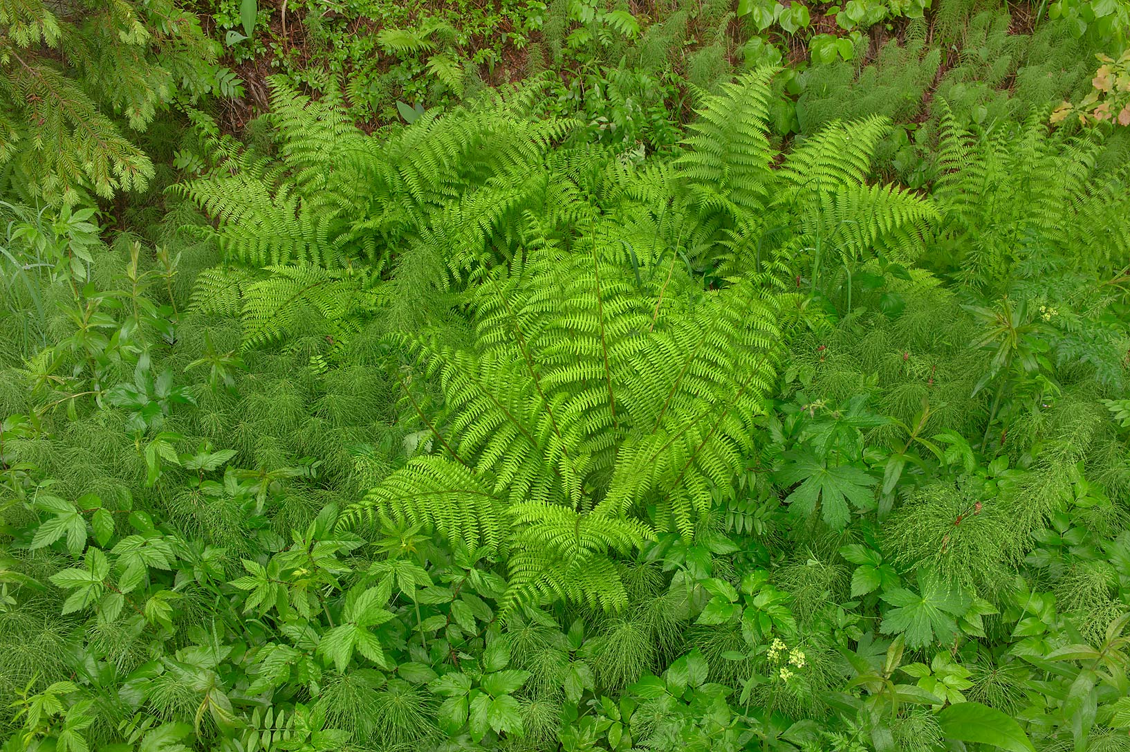 Ferns and horsetail near Angliyskaya Alley in...suburb of St.Petersburg, Russia