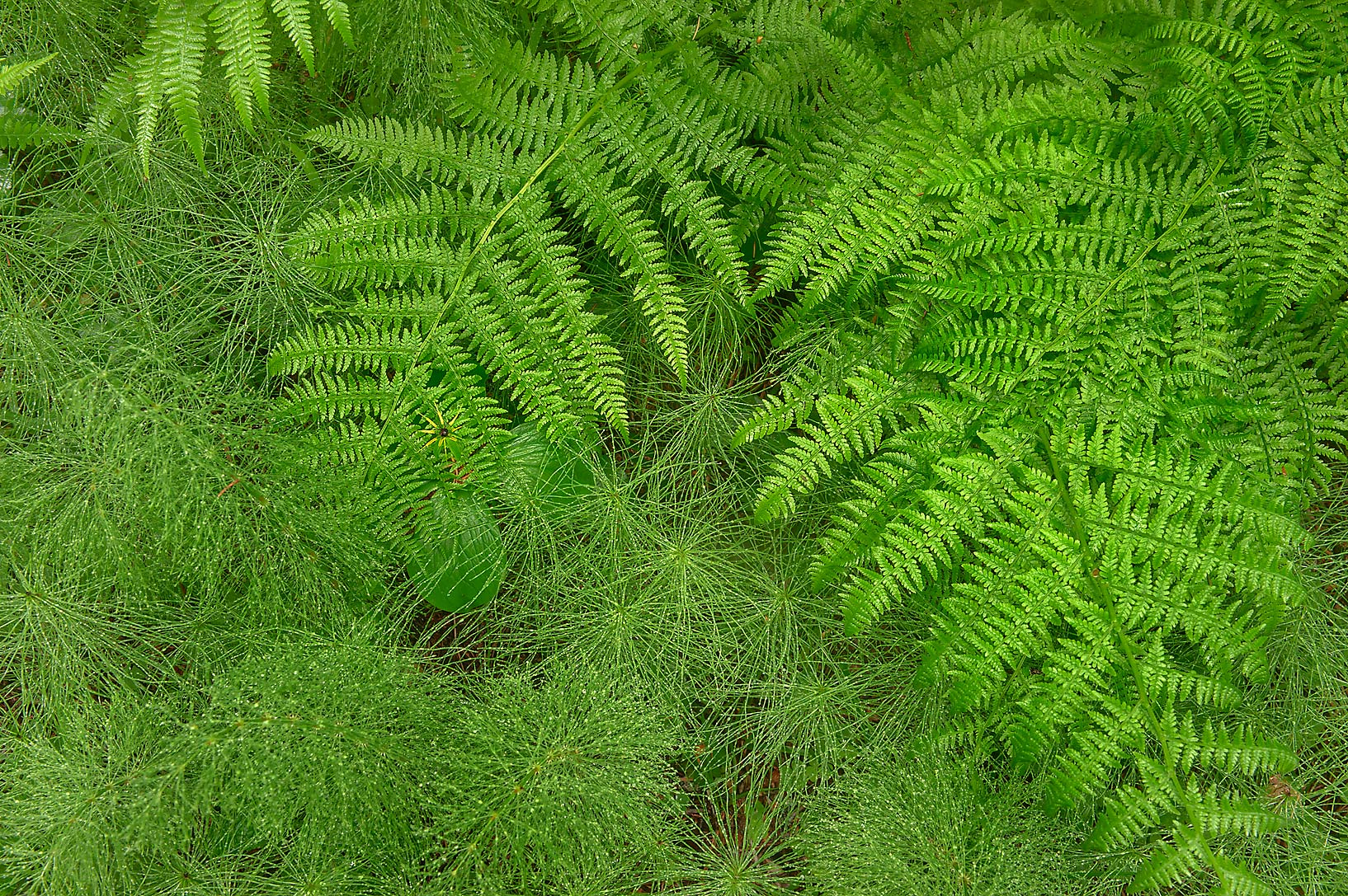 Horsetail and fern leaves in area of Novaya...suburb of St.Petersburg, Russia