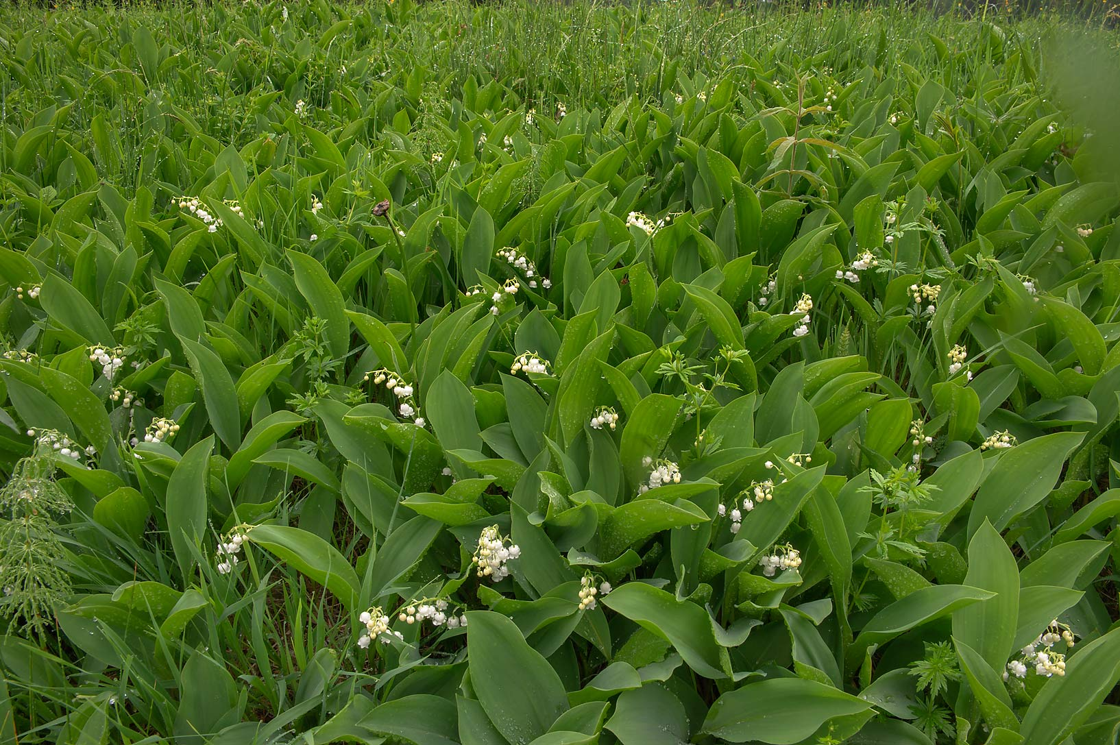 Blooming Lily of the Valley (Convallaria majalis...suburb of St.Petersburg, Russia