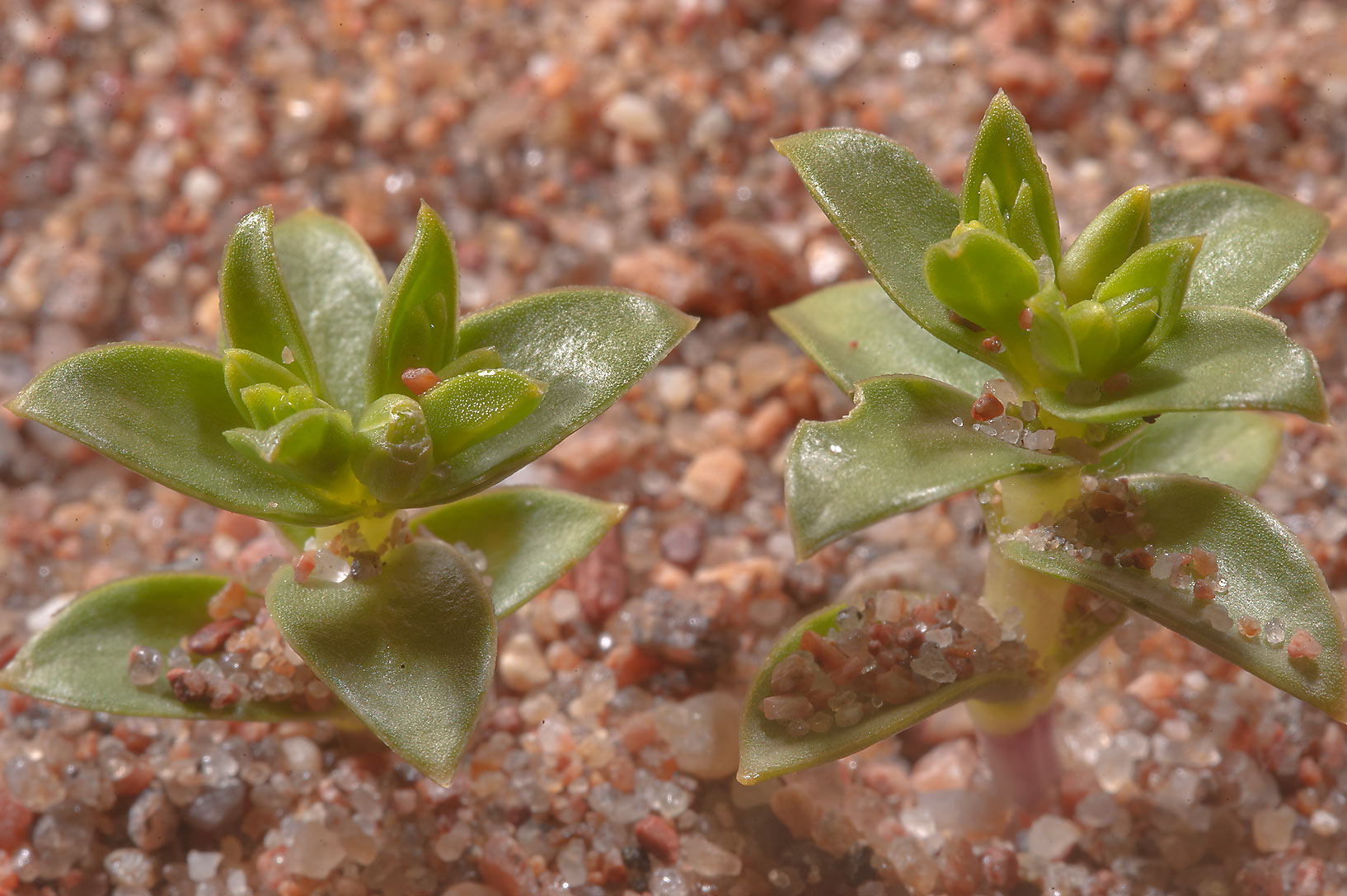 Seabeach sandwort (Honckenya peploides) in sand...west from St.Petersburg, Russia