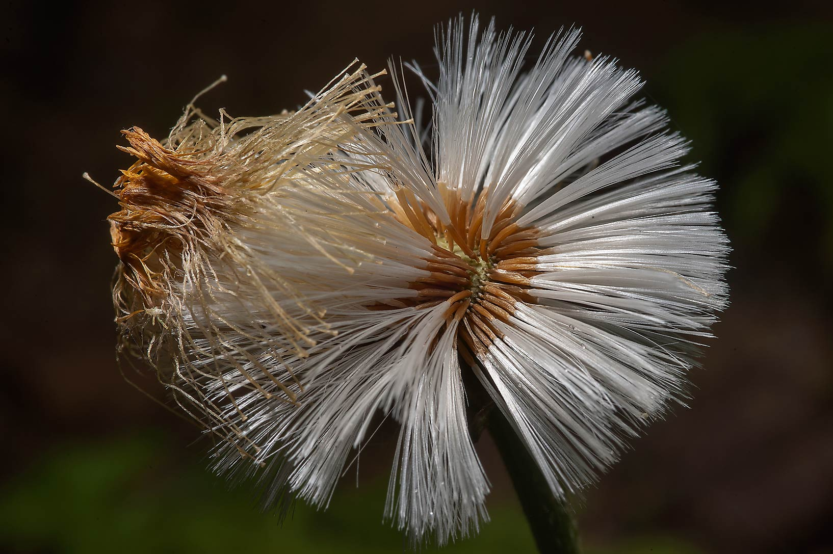 Seed head of Coltsfoot (Tussilago farfara...north-west from St.Petersburg, Russia