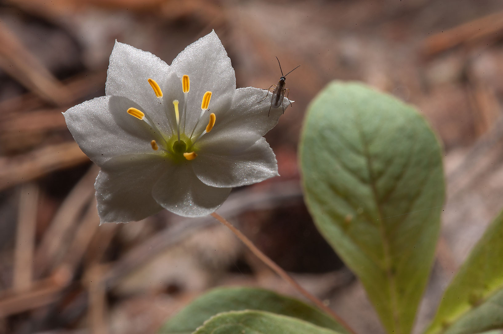 Arctic starflower (Trientalis europaea, Russian...north-west from St.Petersburg, Russia