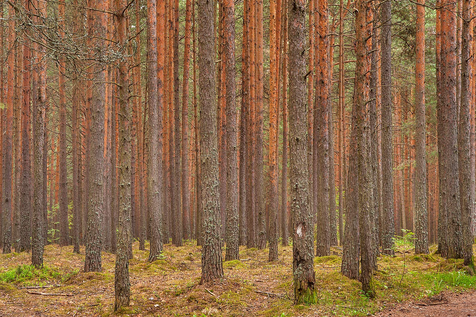 Pine forest near Razliv on a road from Dibuny, north-west from St.Petersburg, Russia