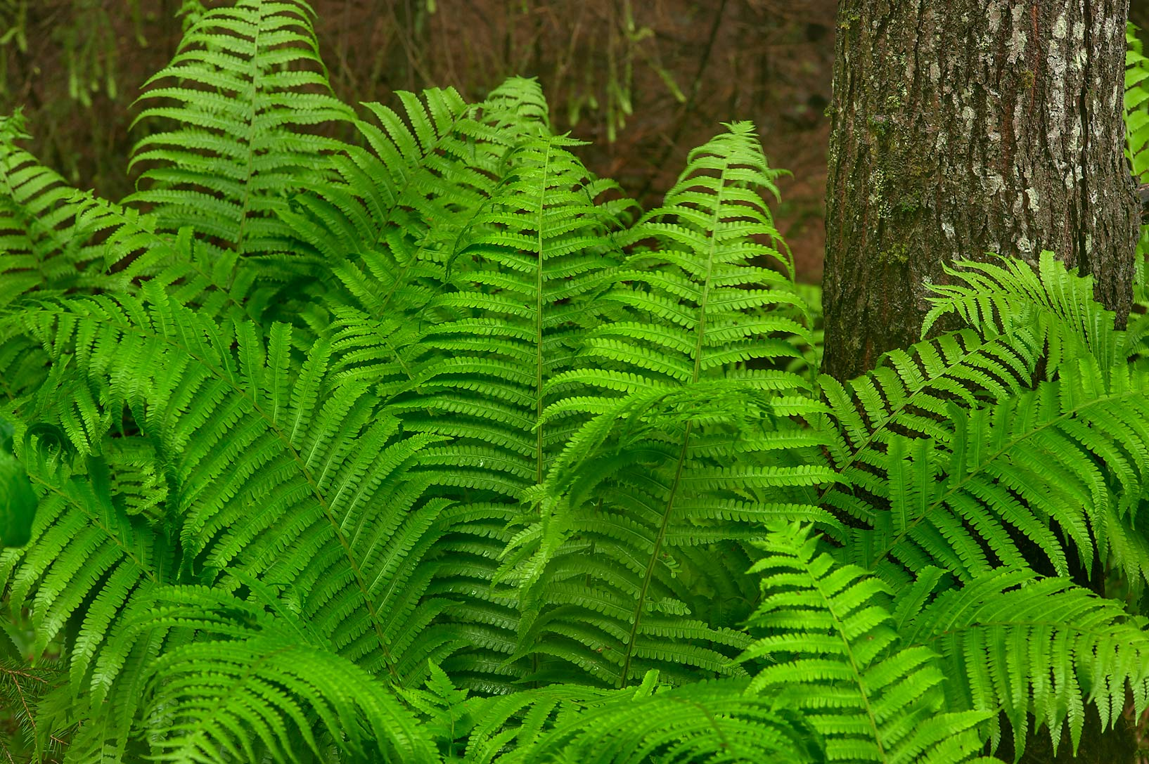 Large fern near Kavgolovskoe Lake, between Oselki...north from St.Petersburg. Russia