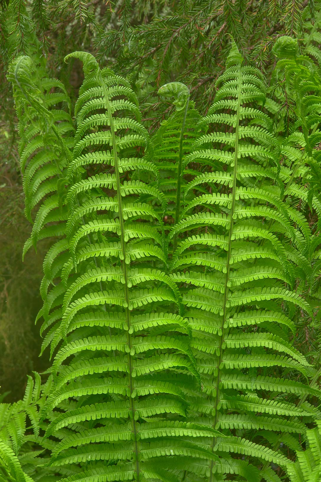 Large leaves of Ostrich fern (Matteuccia...north from St.Petersburg. Russia