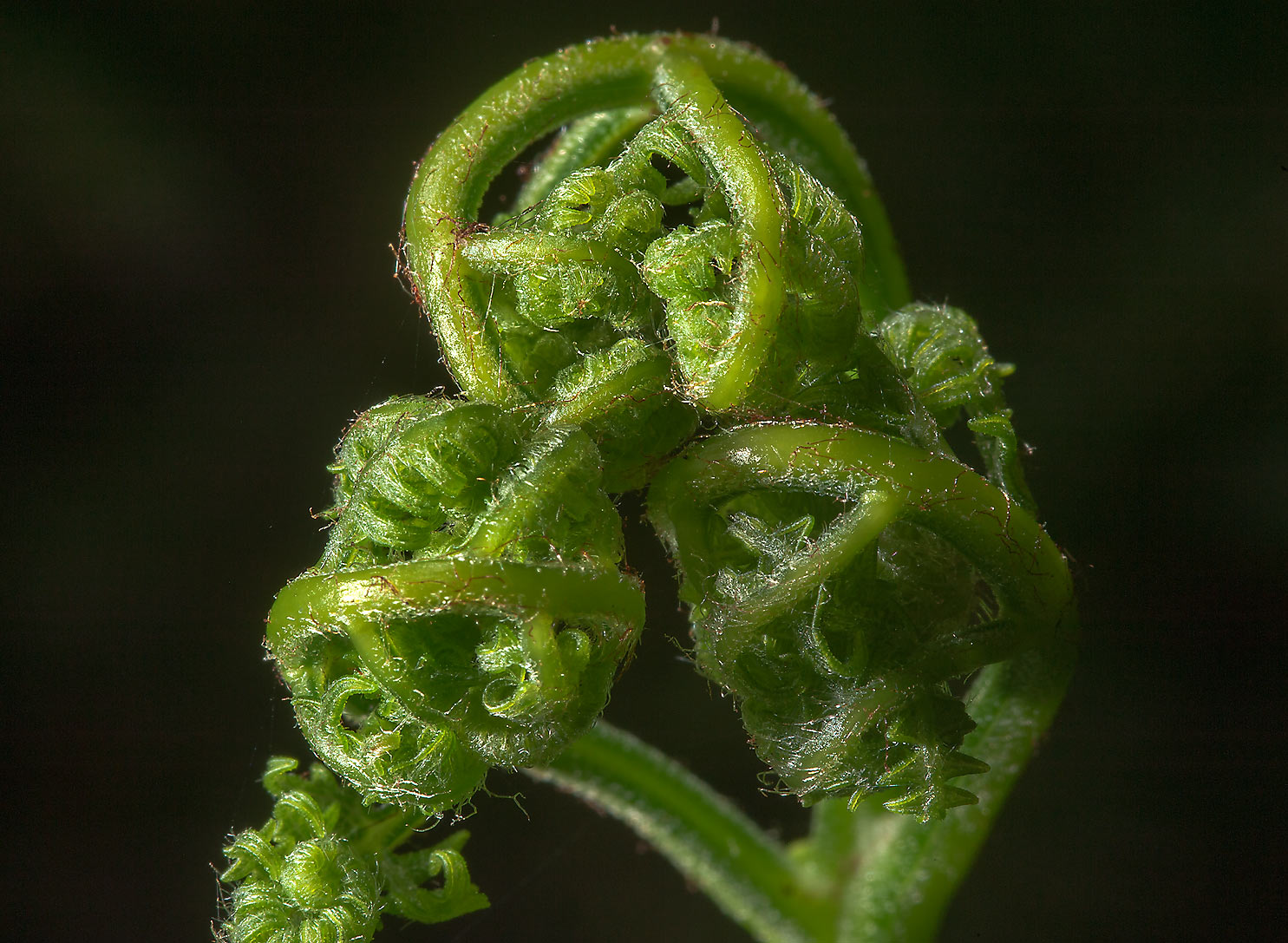 Fiddlehead of a fern in Menkovo, south from St.Petersburg. Russia