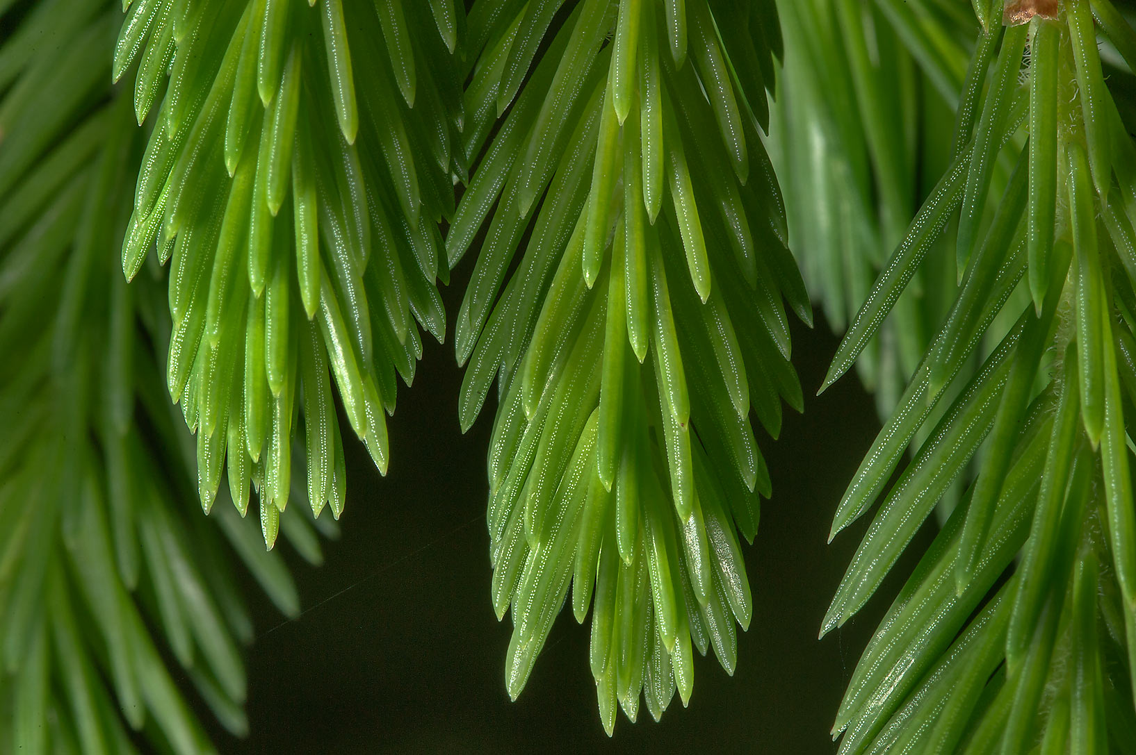 Spruce needles in Menkovo, south from St.Petersburg. Russia