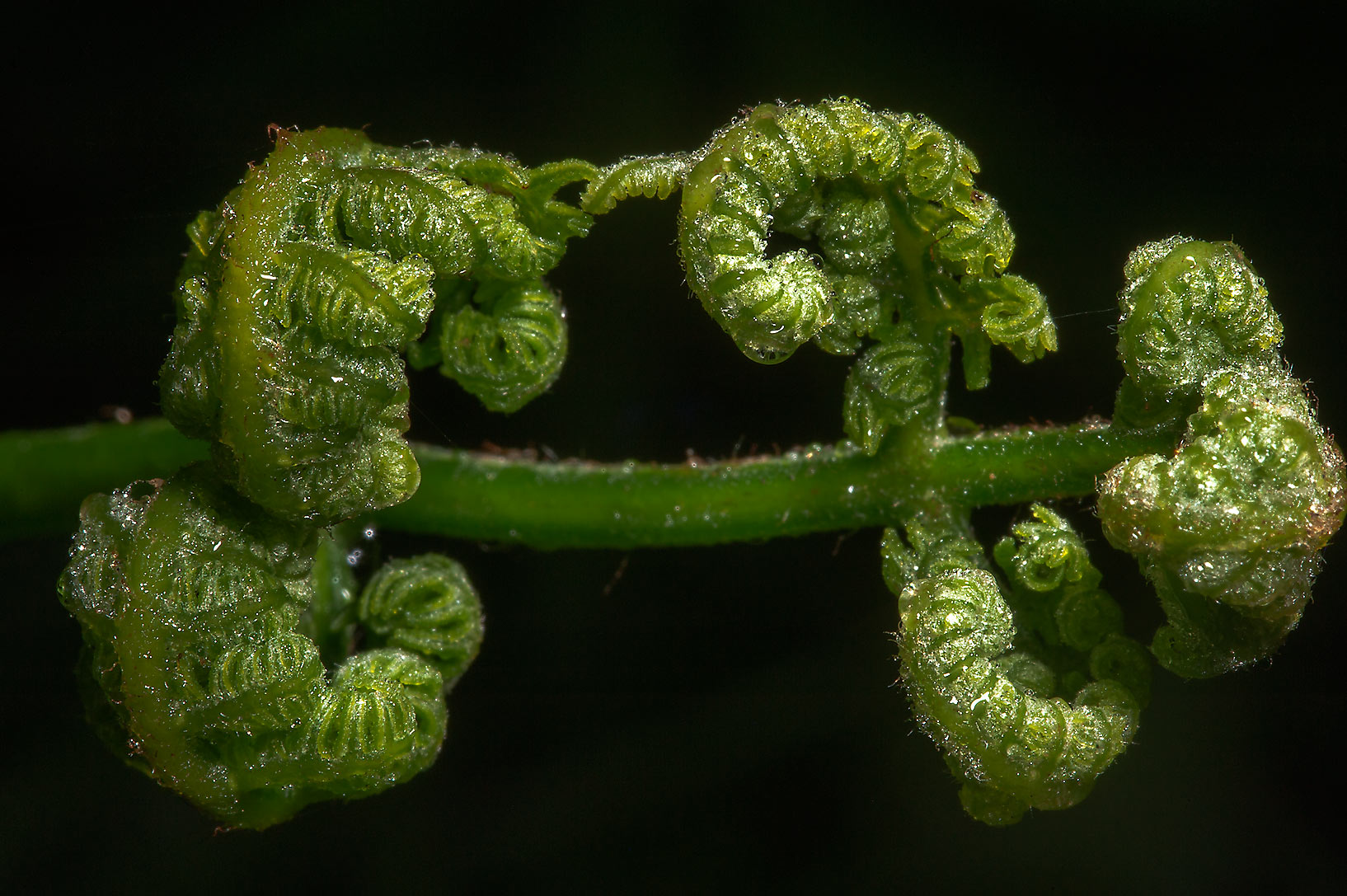 Fiddleheads of bracken fern (Pteridium aquilinum...north from St.Petersburg. Russia