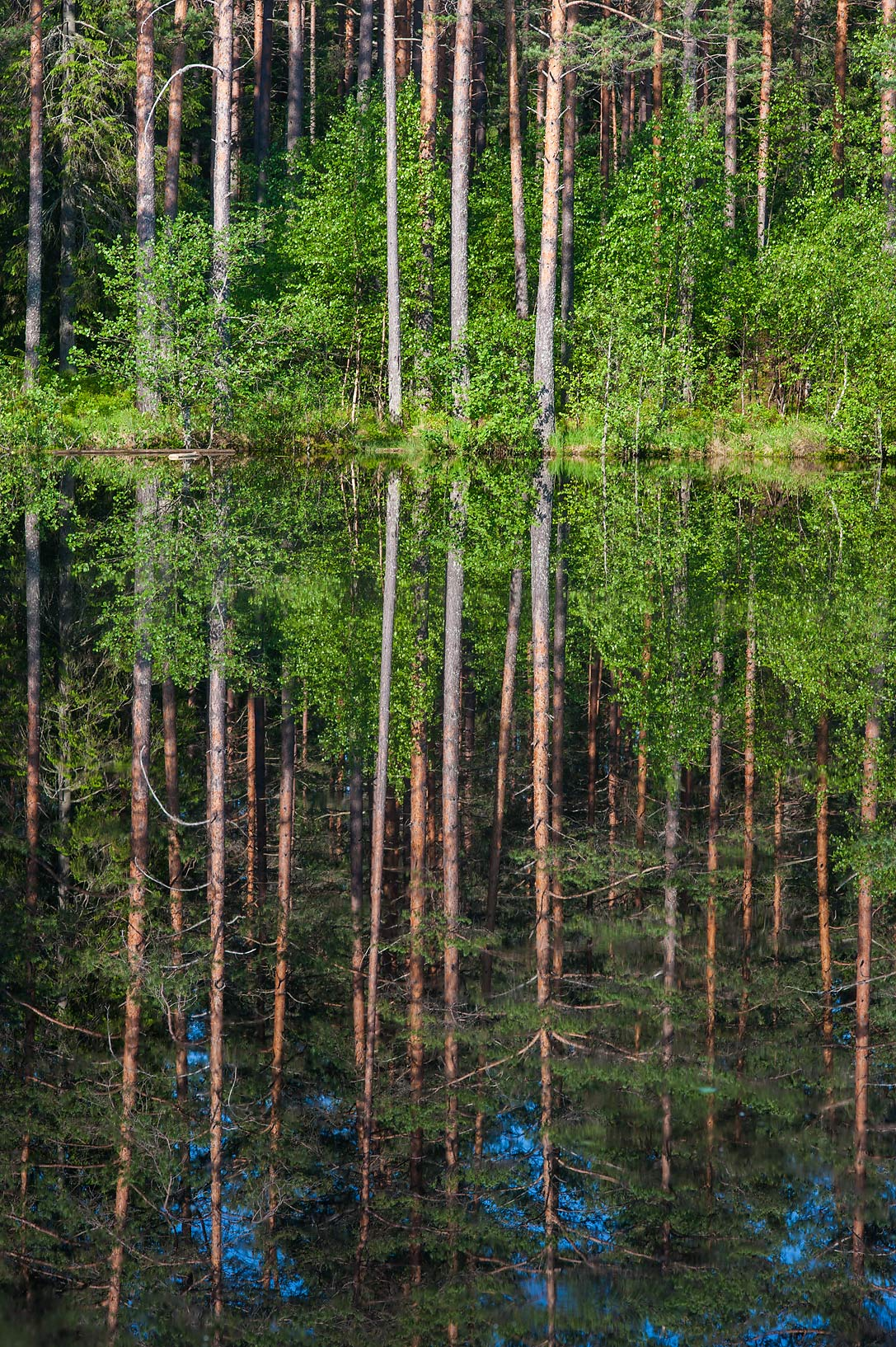 Pine forest reflected in Verkholino (Figurnoe...north from St.Petersburg. Russia