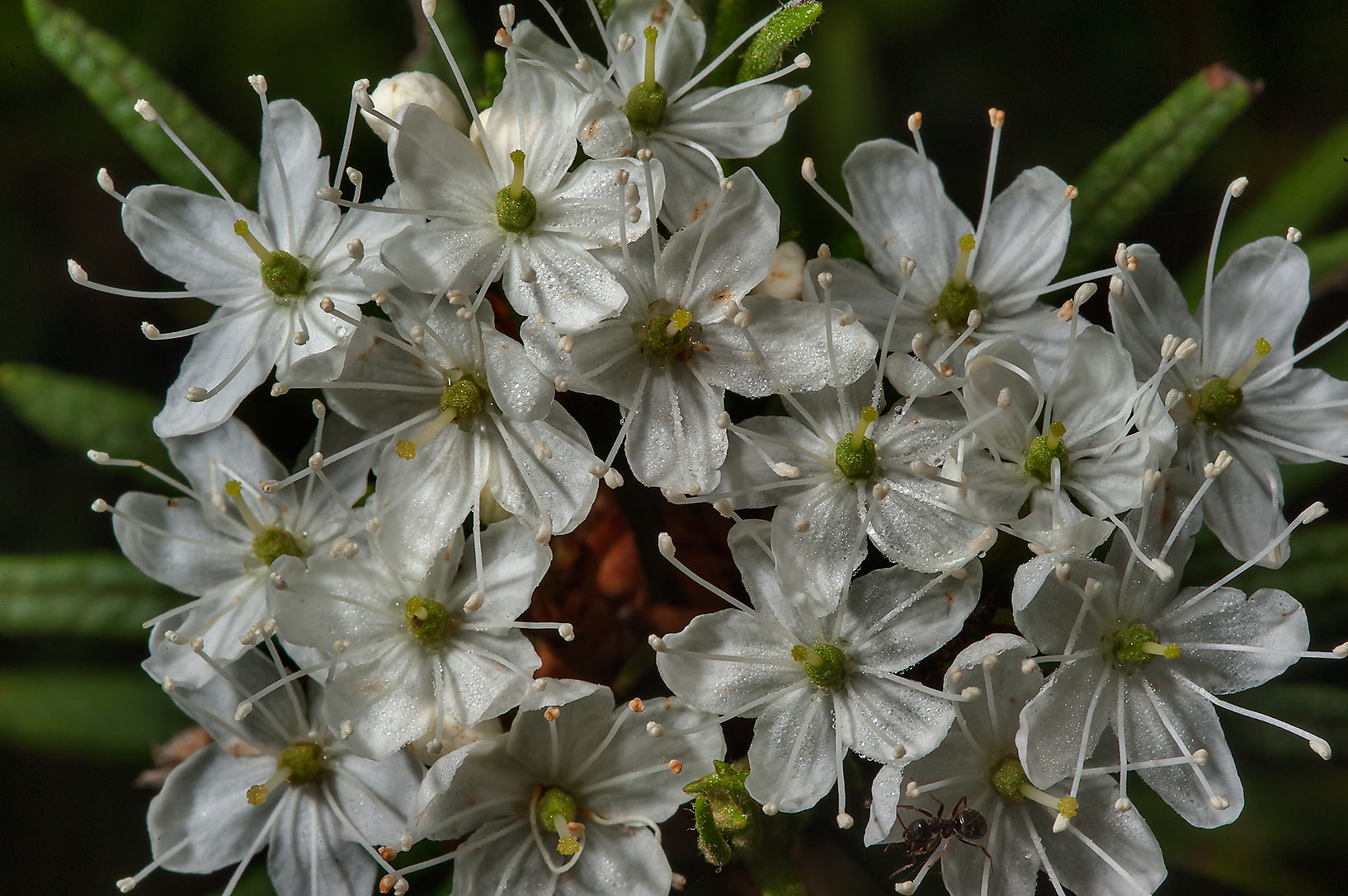 Flowers of Labrador Tea (Ledum palustre) near...north from St.Petersburg. Russia
