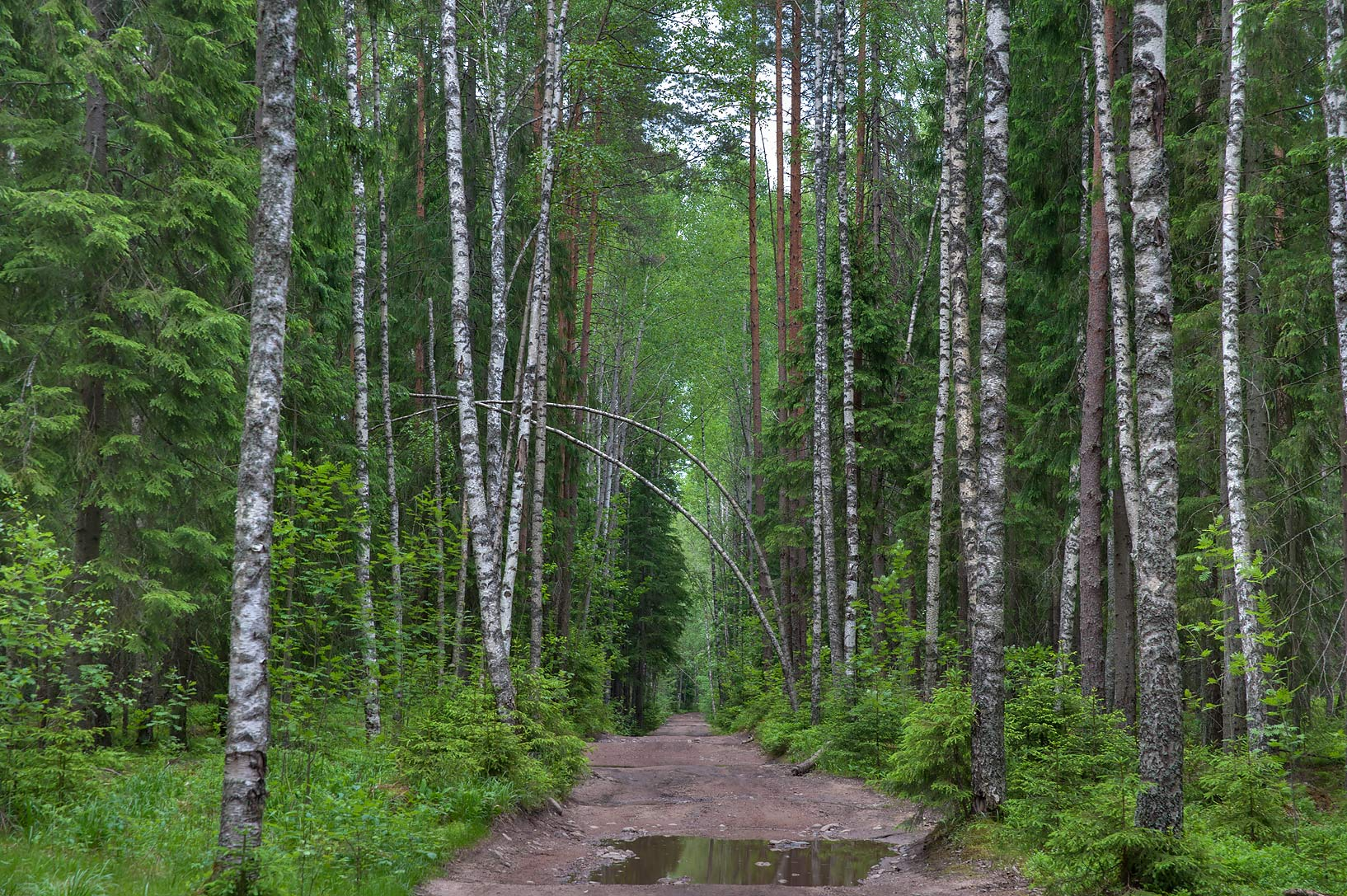 Road through birch forest east from Leypyasuo. North from St.Petersburg, Russia