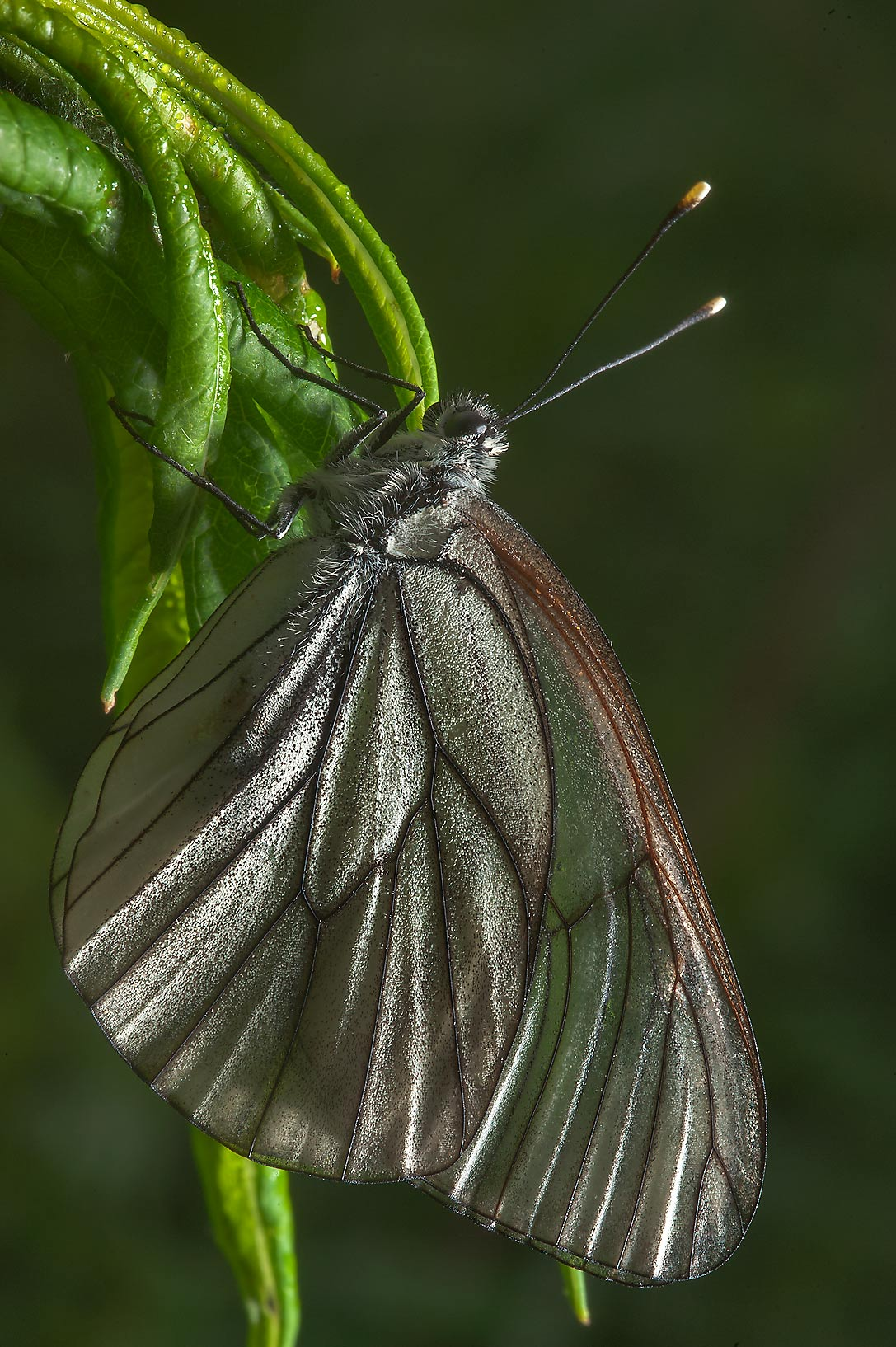 Sitting black-veined white butterfly (Aporia...north from St.Petersburg. Russia