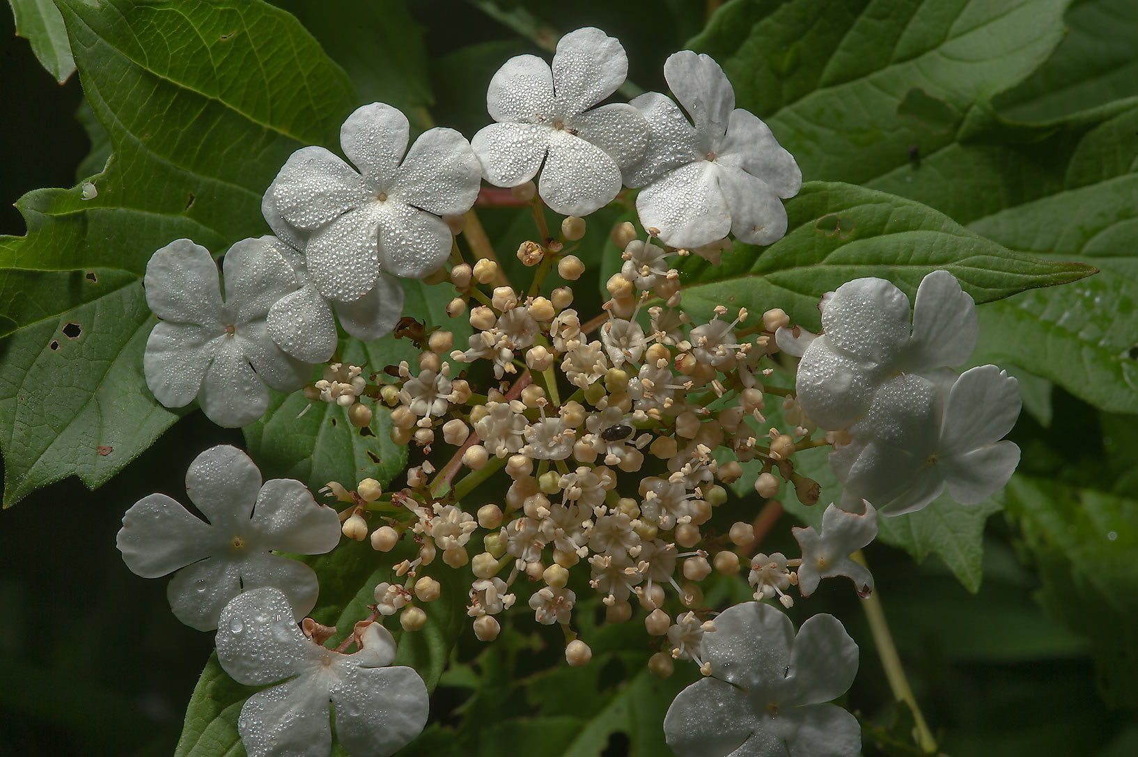 Flowers of cranberrybush (Viburnum opulus) east...north from St.Petersburg. Russia