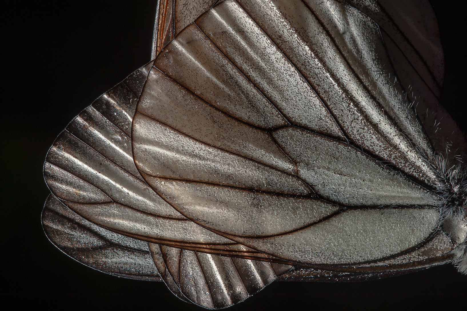 Close up of black-veined white butterflies...north from St.Petersburg. Russia