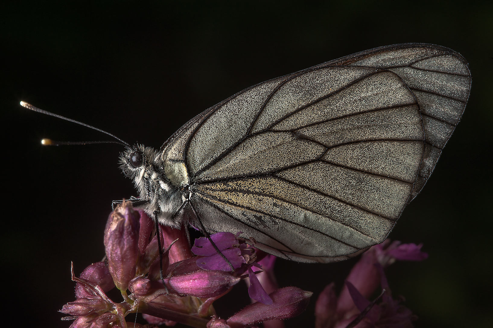 Black-veined white butterfly (Aporia crataegi) on...north from St.Petersburg. Russia