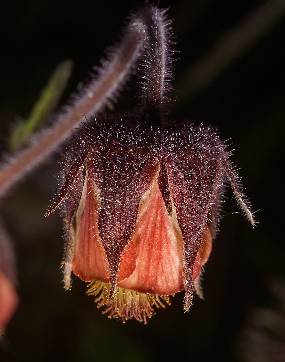 Flower of Water Avens (Geum rivale, Russian name...north from St.Petersburg. Russia