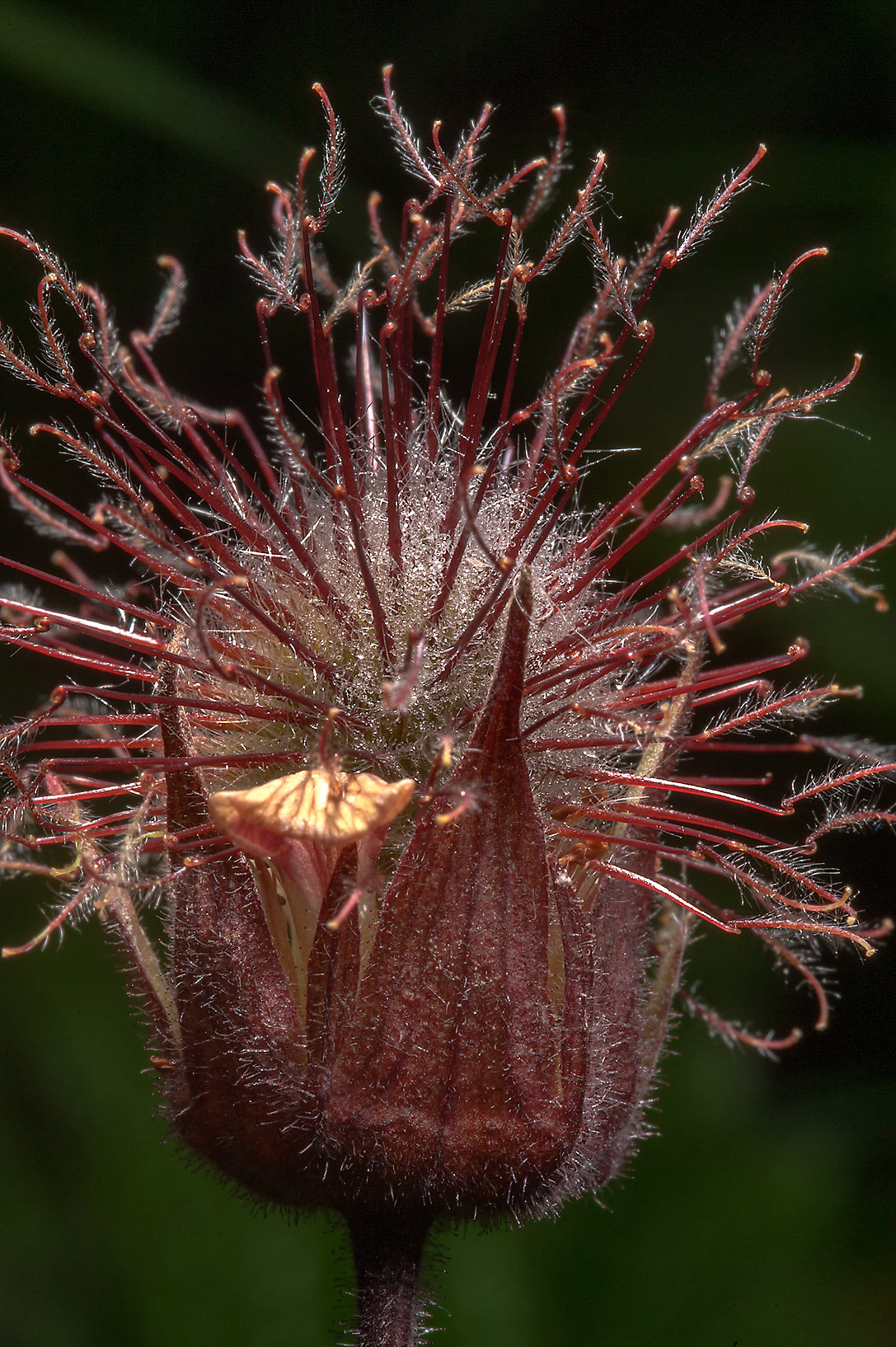 Close up of Water Avens (Geum rivale, Russian...north from St.Petersburg. Russia
