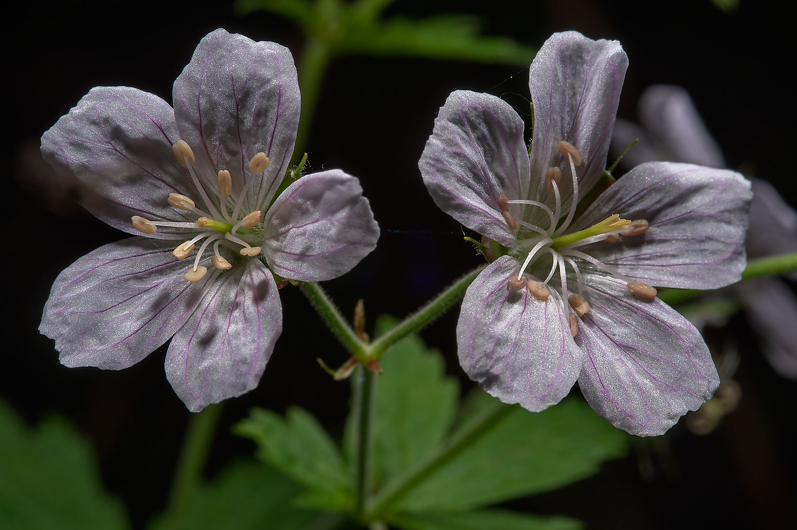 Geranium (storksbill) with white flowers near a...north from St.Petersburg. Russia