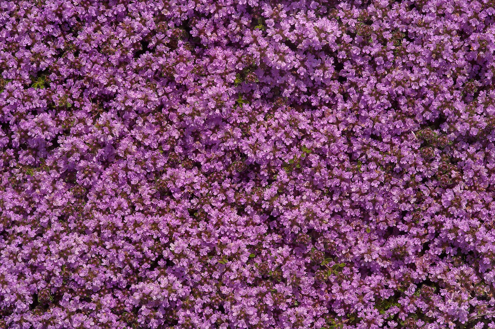 Pink flowers of thyme in Botanic Gardens of...Institute. St.Petersburg, Russia